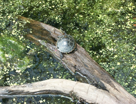 Painted Turtle, photograph by Abby Kelley, age 8