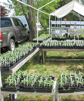 Clare's Tomato Plants for sale at the Orleans Farmers Market